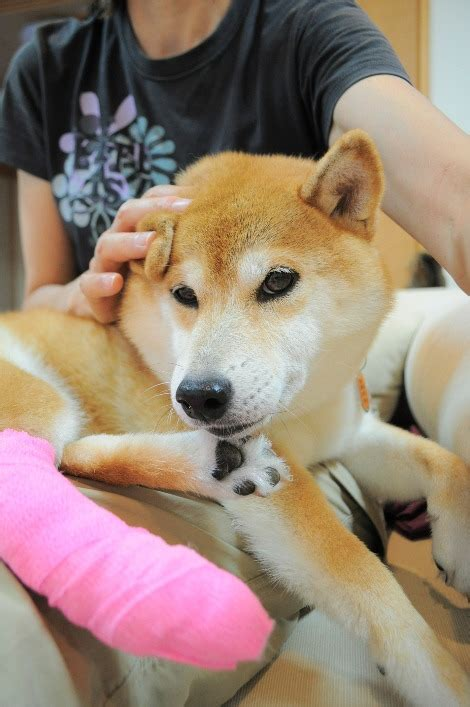 What Breed Is Doge Meme - meet the real dog behind the doge meme the barkpost