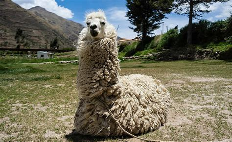 Detalles Interesantes De Tres Animales Exóticos En Perú