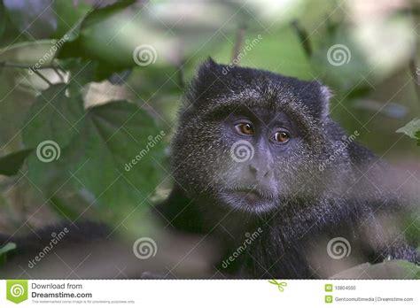 blue monkey cercopithecus mitis stock photo image