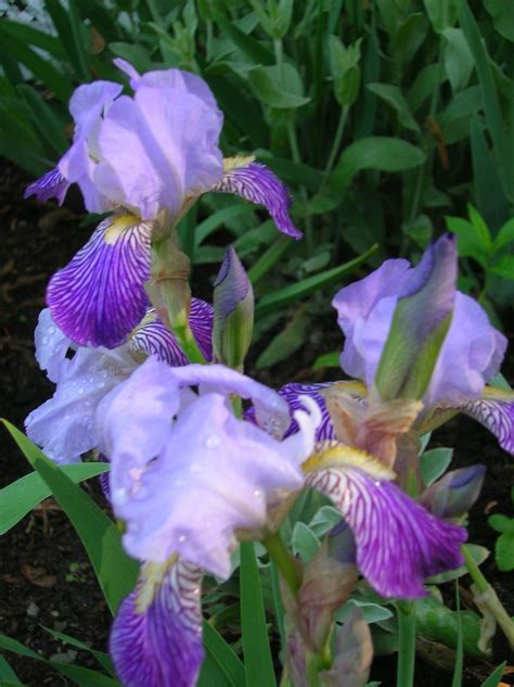 purple iris irises and purple on