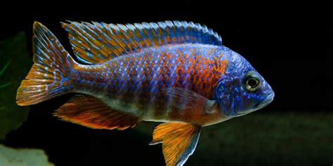 colorful aquarium fish 10 most colorful freshwater fish the aquarium guide