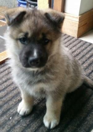 Fluffy The German Shepherd Husky X Pup Needs A New Home Dawg