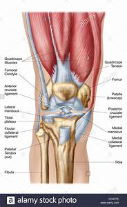 Anatomy Of Human Knee Joint Stock Photo  59361242
