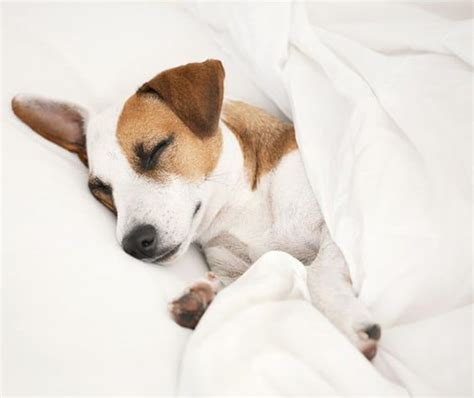 Sleep And Pets by The Benefits Of Sleeping With Your The Sleep Judge
