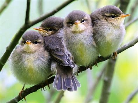 Baby Birds Perched On A Twig Huddled Luvbat