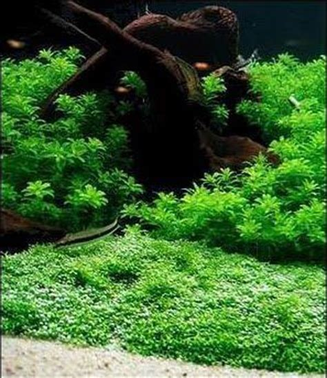 how to make an aquascape how to grow submerged riccia fluitans to make exquisite