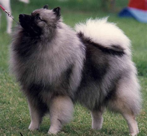 dogs that dont shed keeshond keeshond info animals wiki pictures