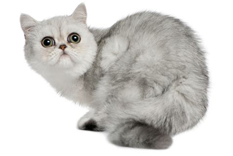 Shorthair Cat - 7 fuzzy facts about shorthair cats mental floss