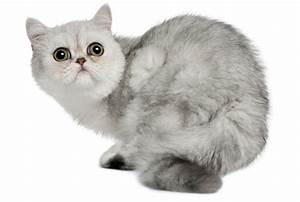 7 Fuzzy Facts About Exotic Shorthair Cats | Mental Floss