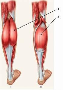 Anatomy  U0026 Physiology 103  U0026gt  Dove  U0026gt  Flashcards  U0026gt  Extremities