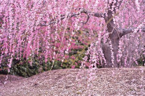 plum blossom  japan  winter cousin   sakura favy