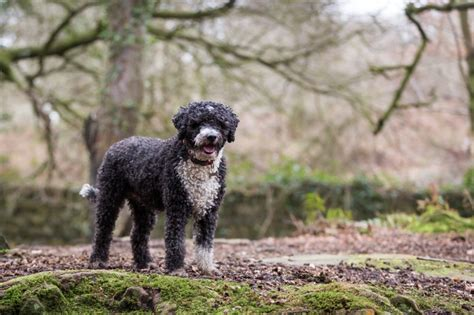 spanish water dog breed information characteristics