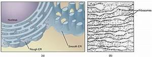 The Endoplasmic Reticulum - Rough Endoplasmic Reticulum