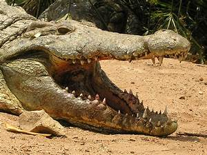 Reptiles Crocodiles | Amazing Wallpapers