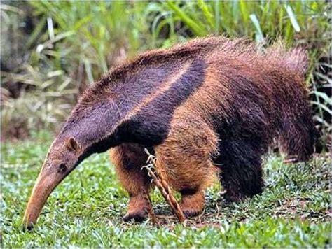 caracteristicas  clasificacion de los mamiferos cuadro