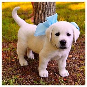 1000+ images about Labrador Retriever Pictures on ...