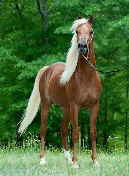 perfectly pretty    saddlebred  love flaxen