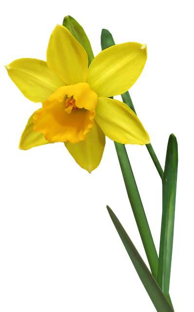 daffodil flower stem  photo  pixabay