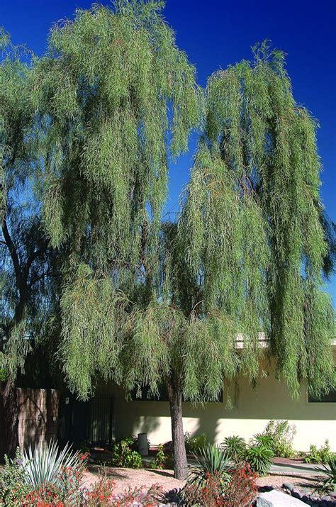 willow acacia acacia salicina plants   grow