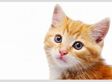 A Cat's Dirty Ears & QTips for Ear Mites Pets