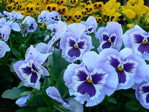 Pansies | The Plant Farm