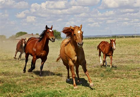 horses horse farm texas ranch mare pasture animal foal states united quarter mustang usa stallion nature brown america north running