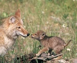 The Real Story – Kilcona's Coyotes | Kilcona Park Dog Club