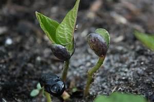 Photos Bean Sprouting