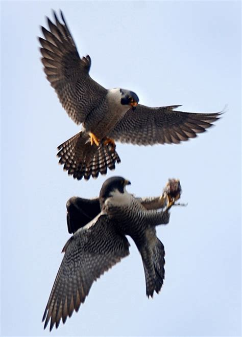 falcon cuisine peregrine falcon midair food transfer from a to his