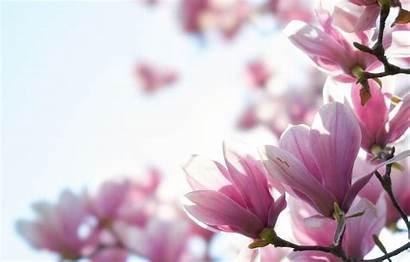 Magnolia Wallpapers Desktop