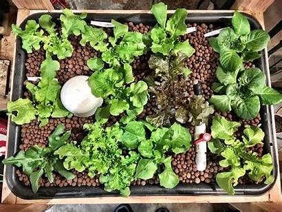Lettuce Hydroponic Weeks Grow Nosoilsolutions Hydroponics Soil