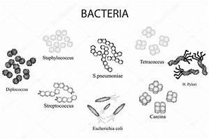 Conjunto De Bact U00e9rias  Preto E Branco  Staphylococcus