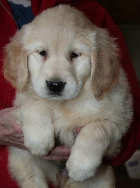 Golden Retriever Puppy Cute Puppies Dogs Golden