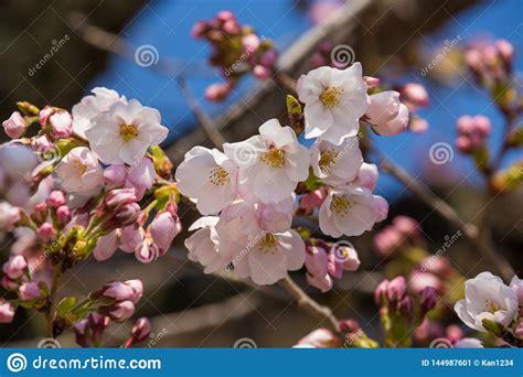 Close Up Cherry Blossom: Sakura In Kyoto Japan Stock