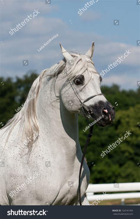 horse strong arabian shutterstock