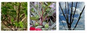 Taille Des Althéas : hibiscus rustiques herbac s hibiscus moscheutos hibiscus coccineus hibiscus des marais ~ Nature-et-papiers.com Idées de Décoration