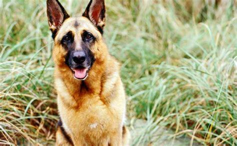 Burkes Backyard Dogs by Top 10 Dogs Burke S Backyard