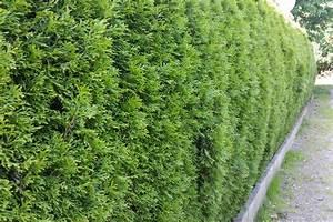 Lebensbaum Wird Braun : thuja smaragd hecke lebensbaum hecke thuja smaragd 1a ~ Lizthompson.info Haus und Dekorationen
