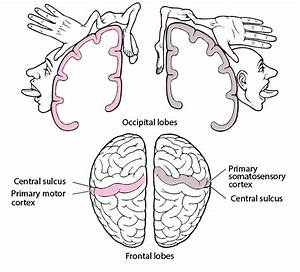 Overview Of Cerebral Function - Neurologic Disorders