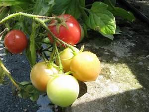 Zimmerpflanzen Alte Sorten : gartenperle kleinbleibende fr hreifende tomate ideal f r ~ Michelbontemps.com Haus und Dekorationen