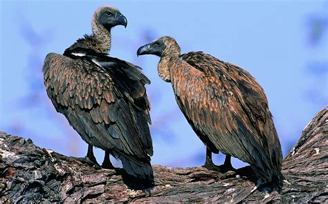 birds, Vultures Wallpapers HD / Desktop and Mobile Backgrounds