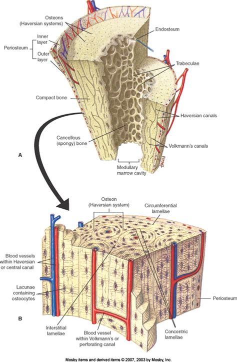 What Are Some Examples Of Cancellous Bone Example