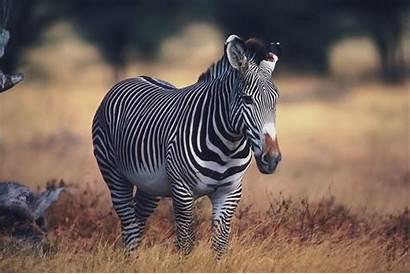 Zebra Wallpapers Theme Rare Animal Animals Desktop