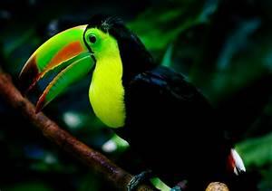 File:Keel-billed toucan woodland.jpg - Wikipedia