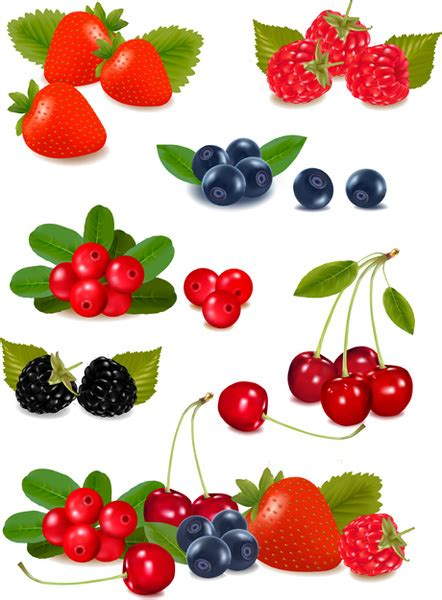 berry  vector    vector