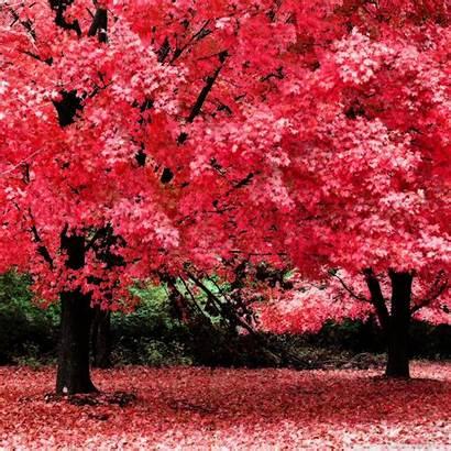 Pink Autumn Foliage Tablet Wallpapers Desktop 4k