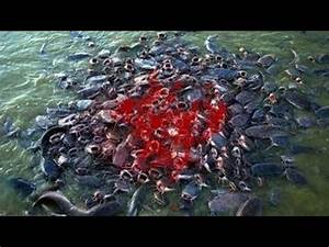 Most Amazing Wild Animal Attacks - Piranha Fish Attacks ...