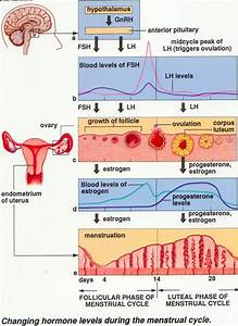Menstrual Cycle-Gynecology Lecture ~ Dentistry and Medicine