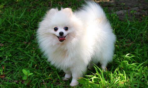 pomeranian dog breed information pets world