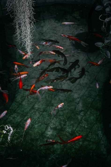 Orange and White Koi Fish Near Yellow Koi Fish · Free